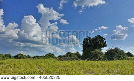 Peaceful Savannah Landscape In Botswana. A Herd Of Impalas Rests And Grazes In A Meadow With Green G