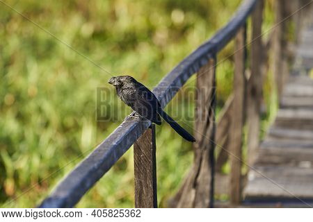 Smooth Billed Ani, Crotophaga Ani Is A Large Near Passerine Bird In The Cuckoo Family, Sitting On A