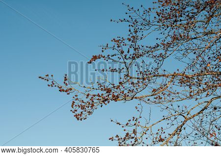 Empty Cupules Of A Beech Tree In Golden Sunlight On A Winter Evening With Clear Blue Sky