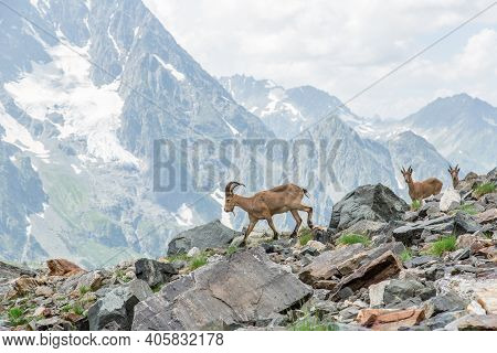 Several Specimens Of Ibex Graze In The National Park Reserve In The Mountains. Close-up Of Mountain
