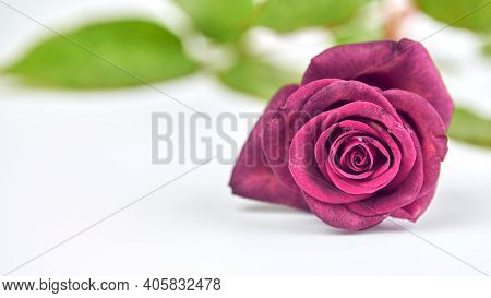 One Bright Crimson Rose With Water Drops On White Background, Close Up. Concept Of Holidays -- Valen