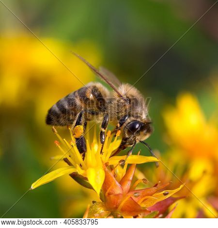 A Honey Bee Collecting Pollen On Yellow Flower. Close Up Macro