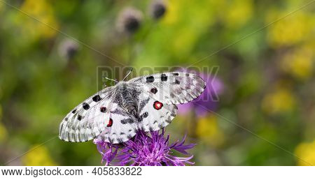 White Apollo Butterfly Sucking A Pollen From A Flower