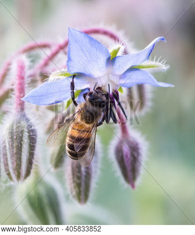 One Bee Collecting Pollen With Blue Flower. Close Up Macro