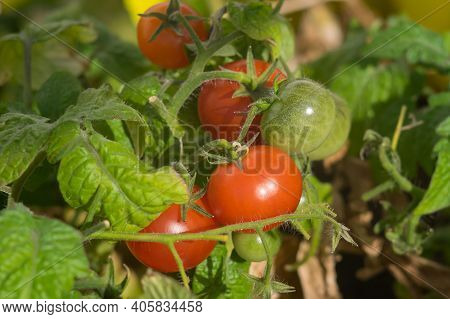 Close-up View Of Red And Green Cherry Tomatoes On A Twig