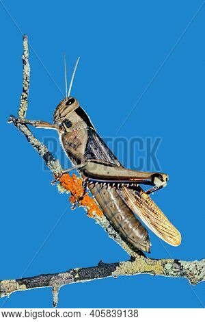 A garden locust (Acanthacris ruficornis) sitting on a branch, South Africa