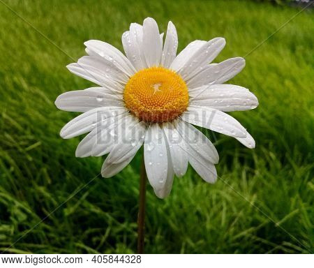 One White Daisy Flower With Waterdrops On Green Grass Background. Flat Lay, Top View Of Retro Daisy