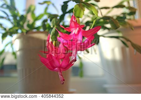 Schlumbergera Cactus Flower Winter Plant (zygocactus, Holiday Or Crab Cactus) In White Pot On Window