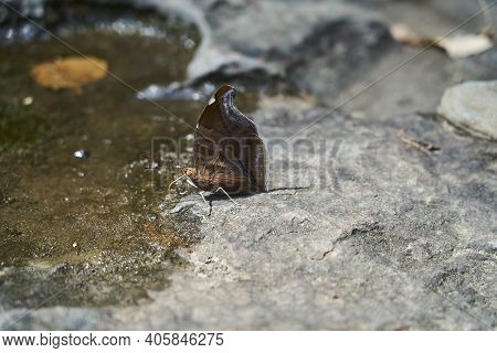 Beautiful Butterfly With Its Wings Closed, Drinking On The Waters Edge Of Rio Magdalena, Colombia, S