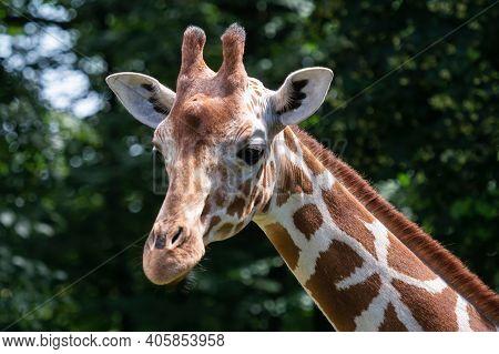 Portrait Of Reticulated Giraffe, Giraffa Camelopardalis Reticulata, Also Known As The Somali Giraffe