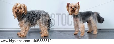 Yorkshire Terrier Before Grooming And After Grooming On A Light Background