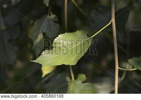 Weeping White Mulberry Leaves - Latin Name - Morus Alba Pendula
