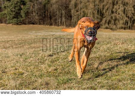 Front View Of A Running Dog. Dogs Runs Across The Meadow. At The Dog Wearing A Muzzle. Running Rhode