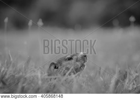 Black And White Of A Juvenile Groundhog (marmota Monax) Cautiously Peeking From Its Hole. Raleigh, N
