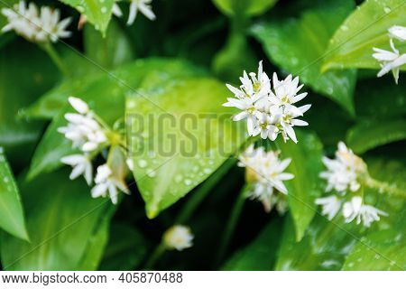 Wild Garlic Blossom In Dew Drops. Green Nature Background View From The Top. Leaves Of Wood Garlic P