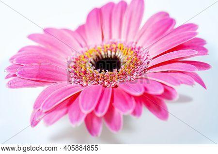 Pink Gerbera Flower Close-up On A Light Background. Closeup