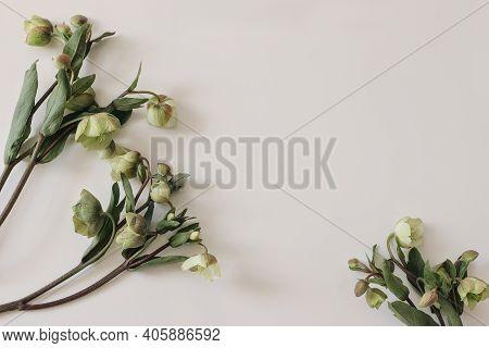 Spring Floral Frame, Banner. Green Hellebores Flowers On Neutral Beige Champagne Table Background. E