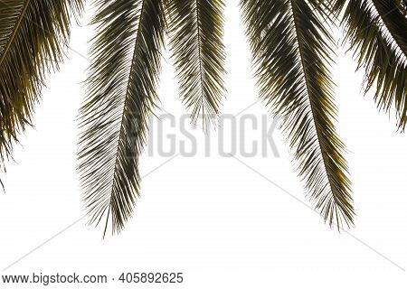 Tropical Green Palm Leaf Isolated On White Background