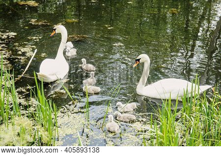 The Family Of Swans - As A Symbol Of Love, Fidelity And Care. Pair Of Swans With Little Swan Chicks