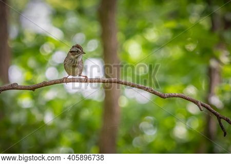 A Lonely Chipping Sparrow Is Looking For Someone To Share The Branch With. Raleigh, North Carolina.