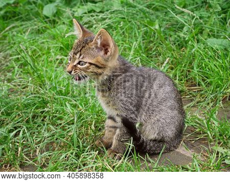 Pretty Tabby Small Kitten Sitting On The Green Grass Ground And Meowing In Summertime