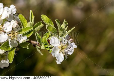 Wild Pear (pyrus Communis) With Blooming Flowers Is Growing In The Mountains On A Sunny Spring Day.
