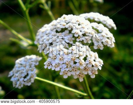 Common Yarrow Achillea Millefolium White Flowers Close Up, Floral Background & Green Leaves. Yarrow