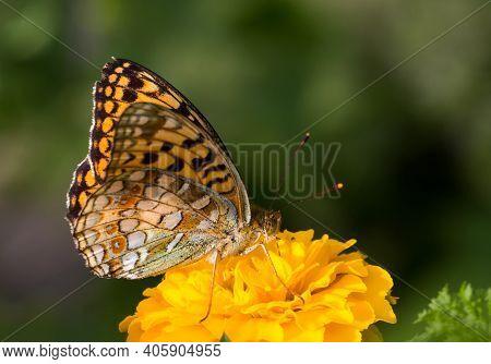 Close-up Of Speyeria Atlantis Butterfly On Bright Yellow Marigold Flower