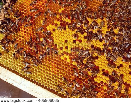 Close Up View Of The Working Bees On Honey Cells. Macro Of Bees On Honeycomb In Apiary. Honey Bees I