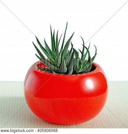 Cactus Succulent Plant In Red Pot Isolated On White Background. Succulent Aloe Flower In Red Vase Po
