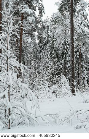 Winter Landscape In A Mixed Pine-spruce Forest, Scandinavia. Finnish Nature. High Quality Photo