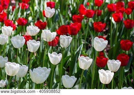 Red White Tulip, Set Of Outdoor Spring Flowers. Natural Flowers Dutch Tulips