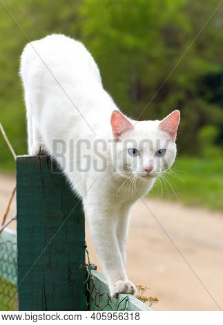 Young White Cat With Blue Eyes On Wooden Fence