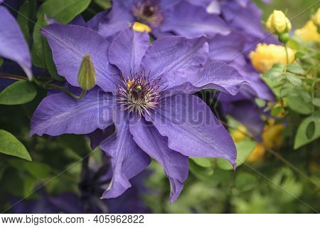 The Purple Clematis Flower Opens To Reveal A Particularly Detailed Center. Fragrant Yellow Rose Bush