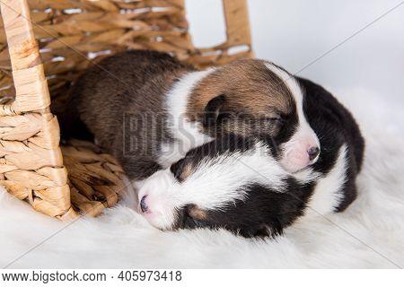 Two Pembroke Welsh Corgi Puppies Dogs On White