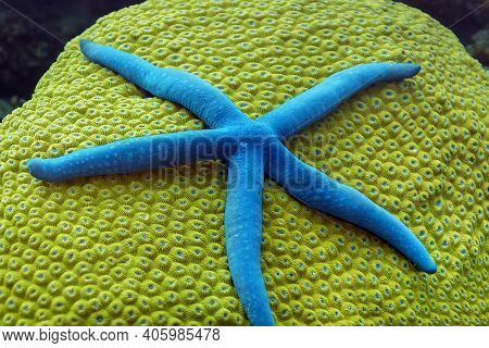 Blue Starfish On Hard Coral Diploastrea Heliopara. The Coral Is Yellow-green, And The Tentacles Of T