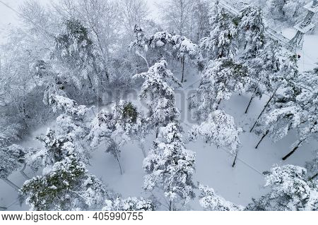 Snow-covered Pine Forest Top View From The Throne.