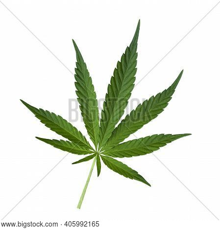 Green Cannabis Leaf Isolated On White. Hemp Leaf Cutout Close Up. Marijuana Drugs Is Produced From C
