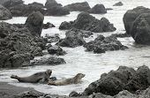 Harbor seals matriculate on the isolated sands of Northern California's Lost Coast. poster