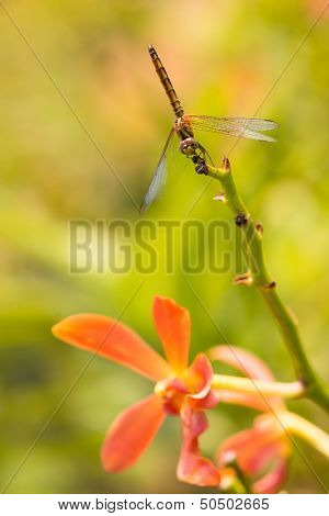 Dragonfly on an orange orchid stem close up poster