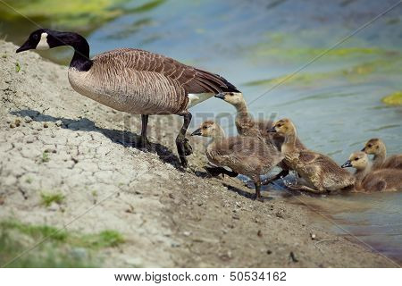 Goose With Kids Getting Out Of The Water