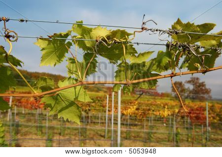 Vineyard In Fall, Closeup Of Vine Leaves