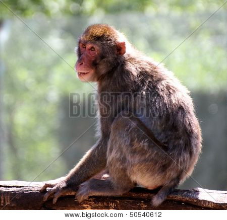 Japanese Macaque Clung To The Branch Of A Tree In Savanna