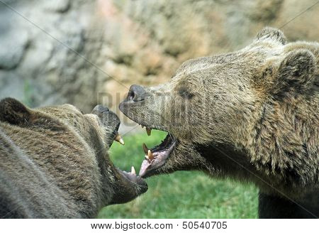Ferocious Bears Struggle With Mighty Bites And Blows The Mouth Open And The Teeth Sharp