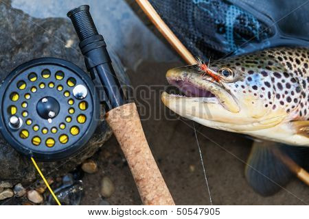 A fly fisherman's freshly caught brown trout, shallow depth of field, focus on the fish.