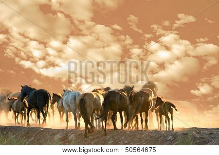 Horses Run At Summer Evening