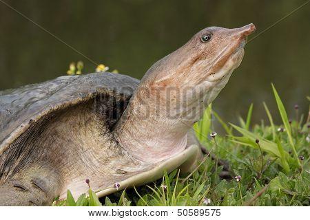 Florida Softshell Turtle 2