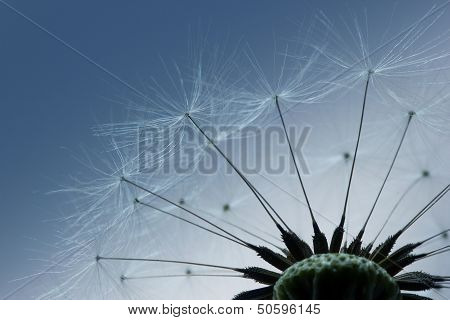 Macro of dandelion flower ripe seeds abstract poster