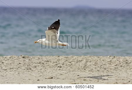 Larus fuscus, marinus flies above a beach.