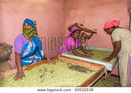 Women Transposing Cardamom